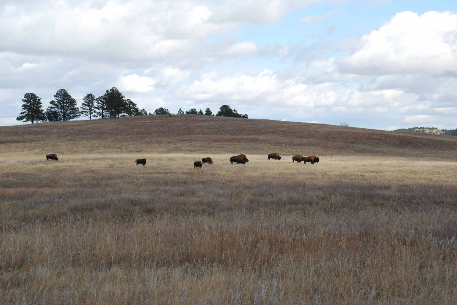 herd of buffalo on the plains